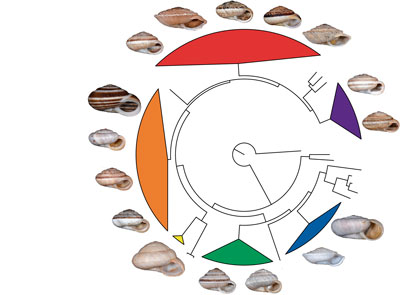 Molecular phylogeny of Candidula
